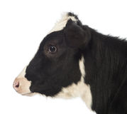 Close-up of a Calf, 8 months old Royalty Free Stock Photo
