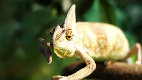 Veiled chameleon. Close up of a veiled chameleon as it moves its arms and eyes stock video footage