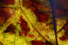 Close up of the veins on a yellow and red leaf Stock Photos