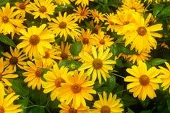 Close-up Vele gele madeliefjes Grote gele bloemen royalty-vrije stock afbeelding