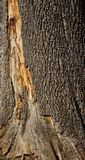 Close up velho da textura da casca de árvore Imagens de Stock