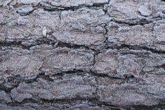 Close up velho rachado da casca Macro da textura da árvore Fundo de madeira do grunge Imagem de Stock
