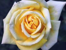 Close-up of a velvety yellow, filled roseblossom Royalty Free Stock Images