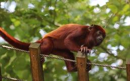 Venezuelan red howler, Alouatta seniculus. Close up of Venezuelan red howler in tree stock photography