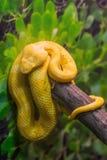 Venomous Bush Viper Snake stock photos
