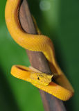 Close up of venomous yellow eyelash pit viper Royalty Free Stock Photo