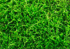Close-up verde bonito da textura do musgo, fundo com espaço da cópia Imagens de Stock Royalty Free