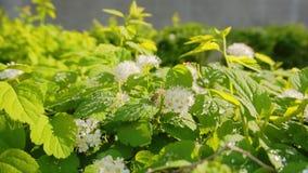Close up verde bonito de Bush após a chuva O sol brilha brilhantemente As gotas nas folhas de Bush vislumbram belamente no sol video estoque