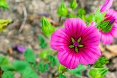 Close up verde cor-de-rosa de Maurentanische Malve foto de stock royalty free