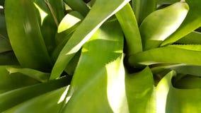 Close-up verde da bromeliácea Imagens de Stock