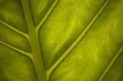 Close-up verde da folha Fotos de Stock