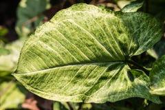 Close up verde da folha Fotografia de Stock Royalty Free