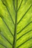 Close up verde da folha Imagem de Stock