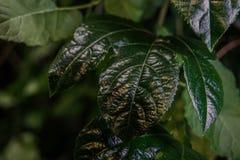 Close up verde da folha Escuro - fundo verde evergreen Salvar o conceito da ecologia Folha detalhada fotografia de stock royalty free