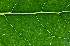 Close up verde da textura da folha que mostra o teste padrão das veias Fotografia de Stock