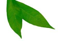 Close up verde de duas folhas Foto de Stock