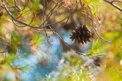 Close up verde do mugo do pinus do pinho de montanha com os cones novos no fundo colorido borrado da floresta do outono com bokeh imagem de stock