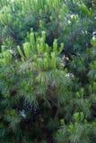 Close up verde do mugo do pinus do pinho de montanha com os cones novos no fundo colorido borrado da floresta do outono com bokeh fotos de stock