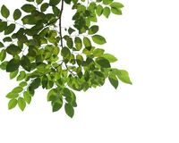 Close up verde do ramo de árvore isolado no branco Imagens de Stock