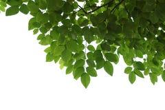 Close up verde do ramo de árvore isolado no branco Imagem de Stock