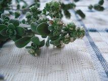 Close-up verde dos oréganos Verdes frescos no tecido de algodão Hortaliças de florescência Imagens de Stock Royalty Free