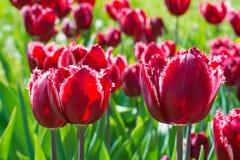 Close up vermelho bonito do campo da tulipa Imagem de Stock