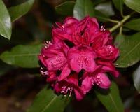 Close-up vermelho bonito do conjunto de flor do rododendro fotografia de stock