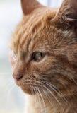 Close-up vermelho bonito do gato Fotos de Stock Royalty Free