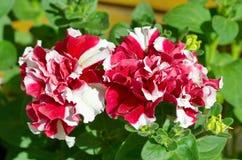 close-up Vermelho-branco do petúnia Fotografia de Stock Royalty Free