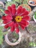 Close up vermelho da flor Imagem de Stock