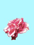 Close up vermelho da flor Ilustração Royalty Free