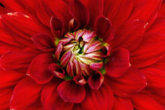 Close-up vermelho da flor Macro dahlia Fotos de Stock Royalty Free