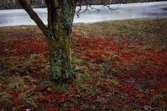 close-up vermelho da natureza de Rowan das bagas do tronco de árvore fora Fotografia de Stock Royalty Free