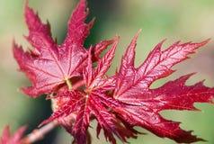 Close-up vermelho das folhas de bordo da mola fresca no backgr colorido do bokeh Fotos de Stock Royalty Free