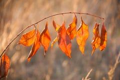 Close up vermelho das folhas de outono Fotografia de Stock