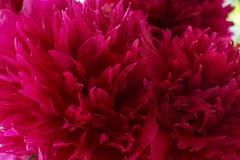 Close up vermelho do crisântemo no dia fotos de stock royalty free
