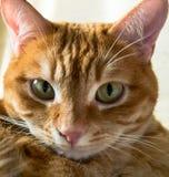 Close-up vermelho do focinho do ` s do gato Imagem de Stock
