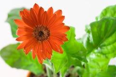 Close up vermelho do Gerbera Foto de Stock