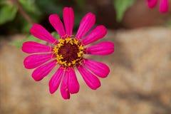 Close-up vermelho do Zinnia, flor decorativa popular Foto de Stock Royalty Free