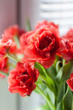 Close up vermelho dos tulips Imagens de Stock