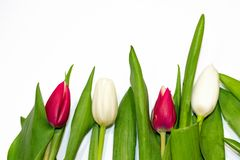 Close up vermelho e erro branco da tulipa isolado no fundo branco copie o espaço, configuração do plano, vista superior Conceito  imagens de stock royalty free