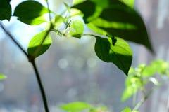 Close-up vermelho individual da flor da pimenta do Chile que cresce na planta da pimenta imagens de stock royalty free