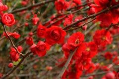 Close up vermelho selvagem da flor disparado com fundo bokehed foto de stock