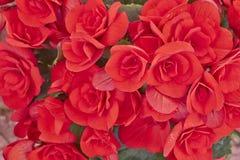 Close up vermelho vibrante das begônias Foto de Stock