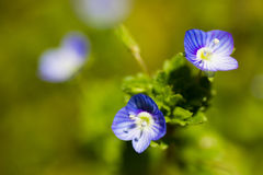 Close up of veronica persica. Close up view of veronica persica. an image of Spring Stock Image
