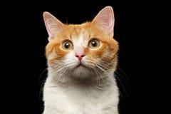 Close-up Verrast Ginger Cat Looking in camera op Zwarte royalty-vrije stock afbeelding
