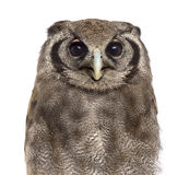 Close-up of a Verreaux's eagle-owl - Bubo lacteus Royalty Free Stock Images