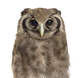 Close-up of a Verreaux's eagle-owl - Bubo lacteus Stock Photo