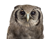 Close-up of a Verreaux's eagle-owl - Bubo lacteus. (3 years old) in front of a white background Stock Image