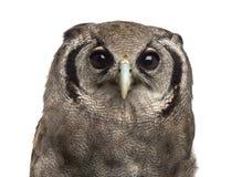 Close-up of a Verreaux's eagle-owl - Bubo lacteus Stock Image
